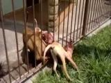 Brutal attack of pitbulls