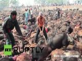 World's Biggest Animal Sacrifice