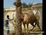 A camel revenge
