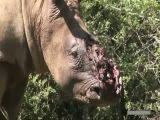 Face off rino