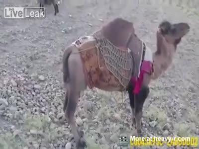 Taliban Camel Kicks US Soldier