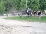Truck Slams Full Speed Into Herd Of Cows