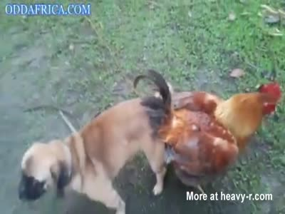 Dog and Hen Mating